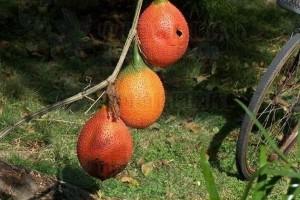 乡村大树挂满了小皮球是天然的美容药深受女人欢迎